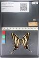 http://mczbase.mcz.harvard.edu/specimen_images/ent-lepidoptera/images/2011_07_01/IMG_089533.JPG