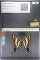 http://mczbase.mcz.harvard.edu/specimen_images/ent-lepidoptera/images/2011_07_01/IMG_089536.JPG