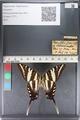 http://mczbase.mcz.harvard.edu/specimen_images/ent-lepidoptera/images/2011_07_01/IMG_089537.JPG