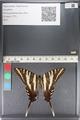 http://mczbase.mcz.harvard.edu/specimen_images/ent-lepidoptera/images/2011_07_01/IMG_089540.JPG