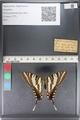 http://mczbase.mcz.harvard.edu/specimen_images/ent-lepidoptera/images/2011_07_01/IMG_089544.JPG