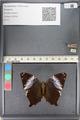 http://mczbase.mcz.harvard.edu/specimen_images/ent-lepidoptera/images/2011_07_21/IMG_091856.JPG