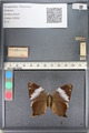 http://mczbase.mcz.harvard.edu/specimen_images/ent-lepidoptera/images/2011_07_21/IMG_091859.JPG