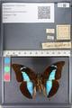 http://mczbase.mcz.harvard.edu/specimen_images/ent-lepidoptera/images/2011_07_21/IMG_091891.JPG