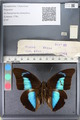 http://mczbase.mcz.harvard.edu/specimen_images/ent-lepidoptera/images/2011_07_21/IMG_091895.JPG