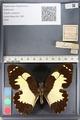 http://mczbase.mcz.harvard.edu/specimen_images/ent-lepidoptera/images/2011_07_25/IMG_092095.JPG