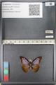 http://mczbase.mcz.harvard.edu/specimen_images/ent-lepidoptera/images/2011_07_28/IMG_092742.JPG