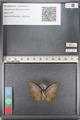 http://mczbase.mcz.harvard.edu/specimen_images/ent-lepidoptera/images/2011_07_28/IMG_092743.JPG