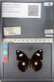 http://mczbase.mcz.harvard.edu/specimen_images/ent-lepidoptera/images/2011_08_02/IMG_093320.JPG