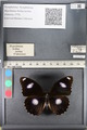 http://mczbase.mcz.harvard.edu/specimen_images/ent-lepidoptera/images/2011_08_02/IMG_093321.JPG