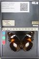 http://mczbase.mcz.harvard.edu/specimen_images/ent-lepidoptera/images/2011_08_02/IMG_093322.JPG