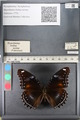 http://mczbase.mcz.harvard.edu/specimen_images/ent-lepidoptera/images/2011_08_02/IMG_093324.JPG