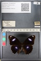 http://mczbase.mcz.harvard.edu/specimen_images/ent-lepidoptera/images/2011_08_02/IMG_093325.JPG