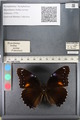 http://mczbase.mcz.harvard.edu/specimen_images/ent-lepidoptera/images/2011_08_02/IMG_093326.JPG