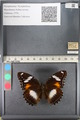 http://mczbase.mcz.harvard.edu/specimen_images/ent-lepidoptera/images/2011_08_02/IMG_093327.JPG