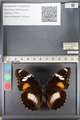 http://mczbase.mcz.harvard.edu/specimen_images/ent-lepidoptera/images/2011_08_02/IMG_093328.JPG