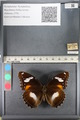 http://mczbase.mcz.harvard.edu/specimen_images/ent-lepidoptera/images/2011_08_02/IMG_093329.JPG