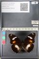 http://mczbase.mcz.harvard.edu/specimen_images/ent-lepidoptera/images/2011_08_02/IMG_093330.JPG