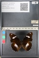 http://mczbase.mcz.harvard.edu/specimen_images/ent-lepidoptera/images/2011_08_02/IMG_093332.JPG