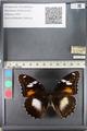 http://mczbase.mcz.harvard.edu/specimen_images/ent-lepidoptera/images/2011_08_02/IMG_093333.JPG