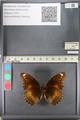 http://mczbase.mcz.harvard.edu/specimen_images/ent-lepidoptera/images/2011_08_02/IMG_093334.JPG