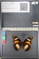 http://mczbase.mcz.harvard.edu/specimen_images/ent-lepidoptera/images/2011_08_02/IMG_093335.JPG