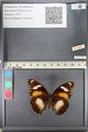 http://mczbase.mcz.harvard.edu/specimen_images/ent-lepidoptera/images/2011_08_02/IMG_093336.JPG