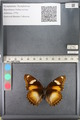 http://mczbase.mcz.harvard.edu/specimen_images/ent-lepidoptera/images/2011_08_02/IMG_093337.JPG