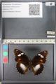 http://mczbase.mcz.harvard.edu/specimen_images/ent-lepidoptera/images/2011_08_02/IMG_093338.JPG