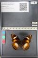 http://mczbase.mcz.harvard.edu/specimen_images/ent-lepidoptera/images/2011_08_02/IMG_093339.JPG