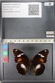 http://mczbase.mcz.harvard.edu/specimen_images/ent-lepidoptera/images/2011_08_02/IMG_093341.JPG
