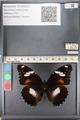 http://mczbase.mcz.harvard.edu/specimen_images/ent-lepidoptera/images/2011_08_02/IMG_093342.JPG