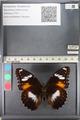 http://mczbase.mcz.harvard.edu/specimen_images/ent-lepidoptera/images/2011_08_02/IMG_093343.JPG