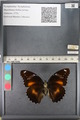 http://mczbase.mcz.harvard.edu/specimen_images/ent-lepidoptera/images/2011_08_02/IMG_093344.JPG