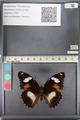 http://mczbase.mcz.harvard.edu/specimen_images/ent-lepidoptera/images/2011_08_02/IMG_093345.JPG