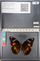 http://mczbase.mcz.harvard.edu/specimen_images/ent-lepidoptera/images/2011_08_02/IMG_093347.JPG