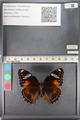 http://mczbase.mcz.harvard.edu/specimen_images/ent-lepidoptera/images/2011_08_02/IMG_093349.JPG