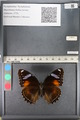 http://mczbase.mcz.harvard.edu/specimen_images/ent-lepidoptera/images/2011_08_02/IMG_093350.JPG