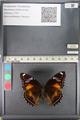 http://mczbase.mcz.harvard.edu/specimen_images/ent-lepidoptera/images/2011_08_02/IMG_093351.JPG
