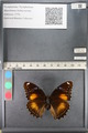 http://mczbase.mcz.harvard.edu/specimen_images/ent-lepidoptera/images/2011_08_02/IMG_093352.JPG