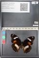 http://mczbase.mcz.harvard.edu/specimen_images/ent-lepidoptera/images/2011_08_02/IMG_093353.JPG