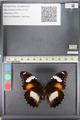 http://mczbase.mcz.harvard.edu/specimen_images/ent-lepidoptera/images/2011_08_02/IMG_093355.JPG