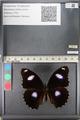 http://mczbase.mcz.harvard.edu/specimen_images/ent-lepidoptera/images/2011_08_02/IMG_093358.JPG