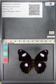 http://mczbase.mcz.harvard.edu/specimen_images/ent-lepidoptera/images/2011_08_02/IMG_093359.JPG