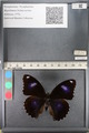 http://mczbase.mcz.harvard.edu/specimen_images/ent-lepidoptera/images/2011_08_02/IMG_093360.JPG