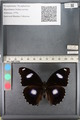 http://mczbase.mcz.harvard.edu/specimen_images/ent-lepidoptera/images/2011_08_02/IMG_093361.JPG