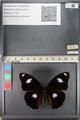 http://mczbase.mcz.harvard.edu/specimen_images/ent-lepidoptera/images/2011_08_02/IMG_093362.JPG