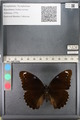 http://mczbase.mcz.harvard.edu/specimen_images/ent-lepidoptera/images/2011_08_02/IMG_093363.JPG