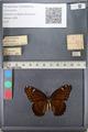 Media of type image, MCZ:Ent:140480 Identified as Limenitis archippus floridensis.