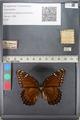 Media of type image, MCZ:Ent:140508 Identified as Limenitis archippus floridensis.